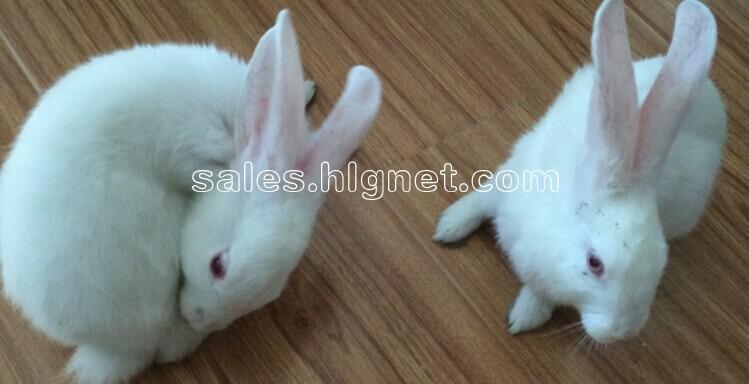 免费赠送一对小白兔