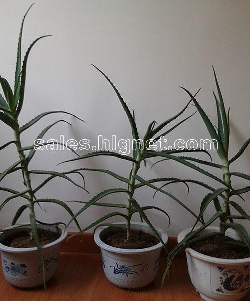 盆栽绿植木立芦荟(又名龙爪)